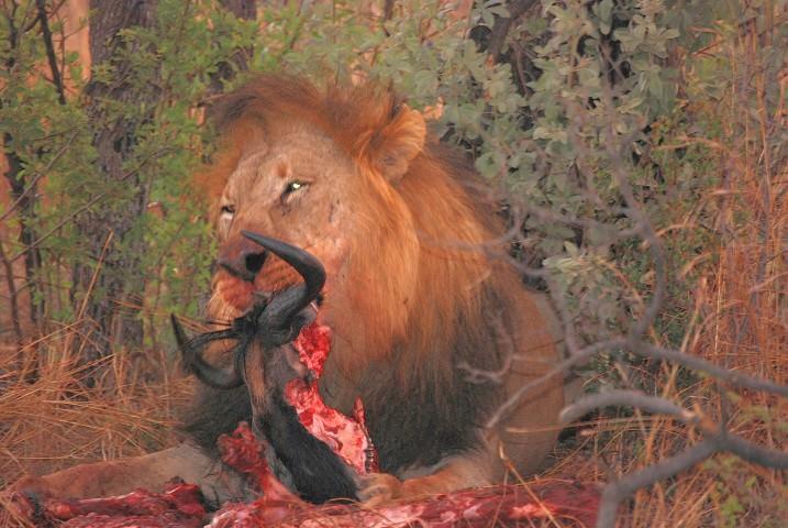 Lions at Madikwe Safari Lodge in South Africa