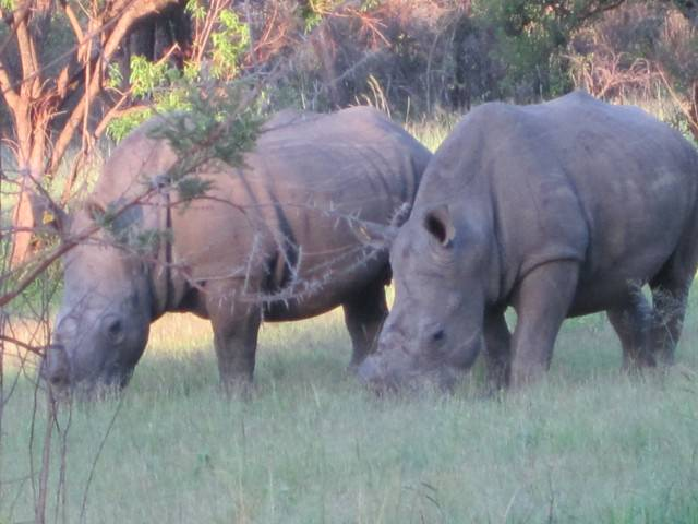 Rhino in Matopos National Park in Zimbabwe