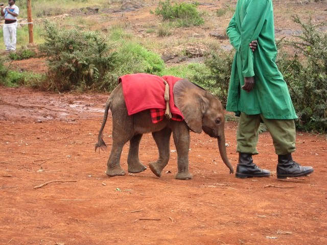 Orphaned Baby Elephant with his Keeper
