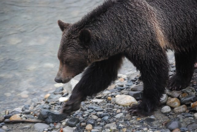 Orford River Grizzly Bear Tour