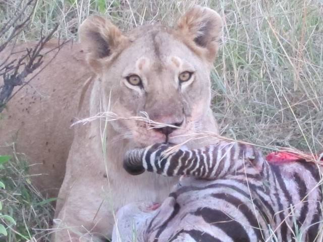 Lioness Feasting on a Zebra