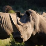 Rhinos in Pilanesberg National Park, South Africa