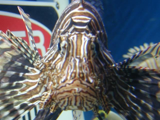 Picture of a Lion Fish (Pterois), the Dorsal spines on this Fish Contain the Poison