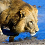 Travel Deal: Lion World Tours Luxury Botswana Safari