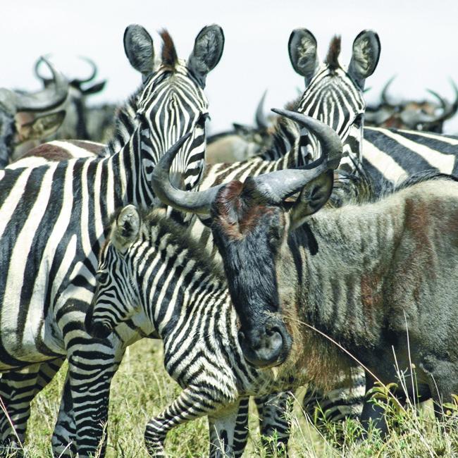 Wildebeest & zebra, Masai Mara, Kenya. Photo courtesy of Acacia Africa.