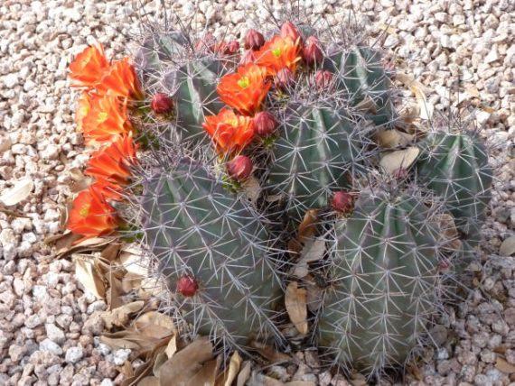 Blooming Cactus in Arizona