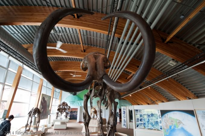 Woolly Mammoth at Beringia Interpretive Centre