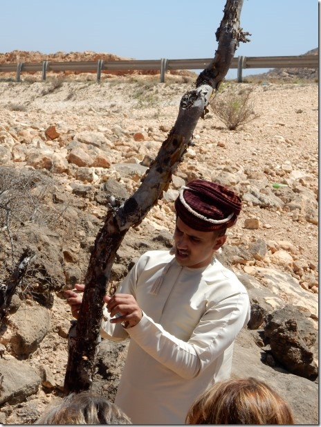 Guide Mohammed shows us a frankincense tree