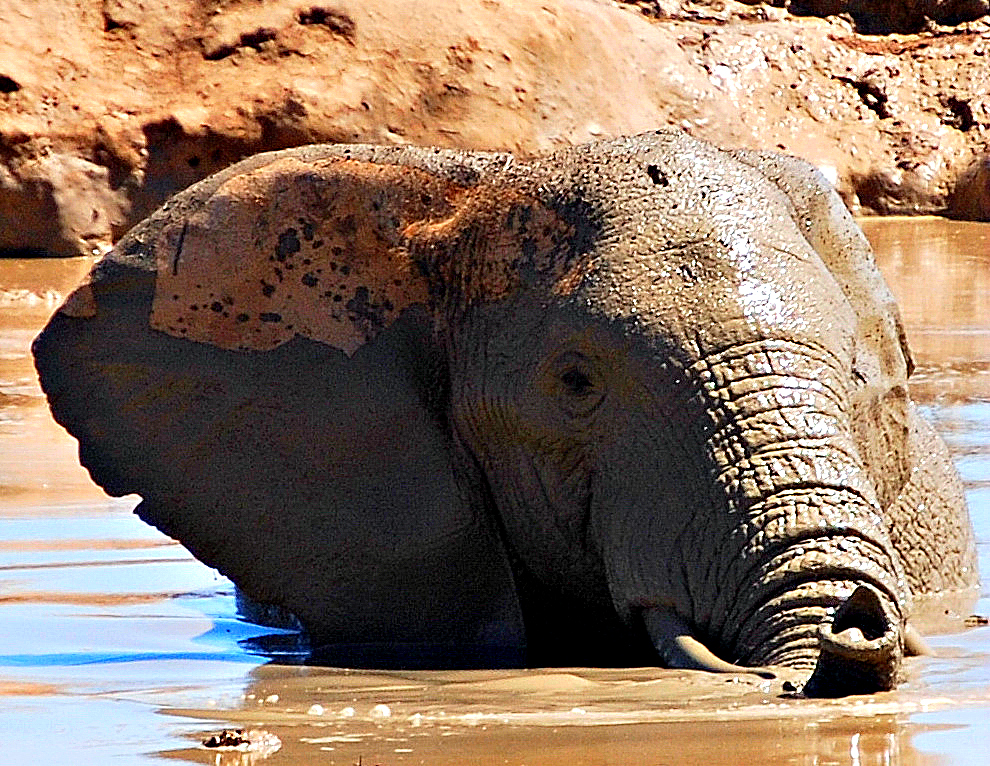 Elephant Playing in a Mud Hole