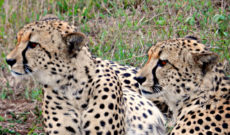 Cheetah Brothers at Phinda Game Reserve