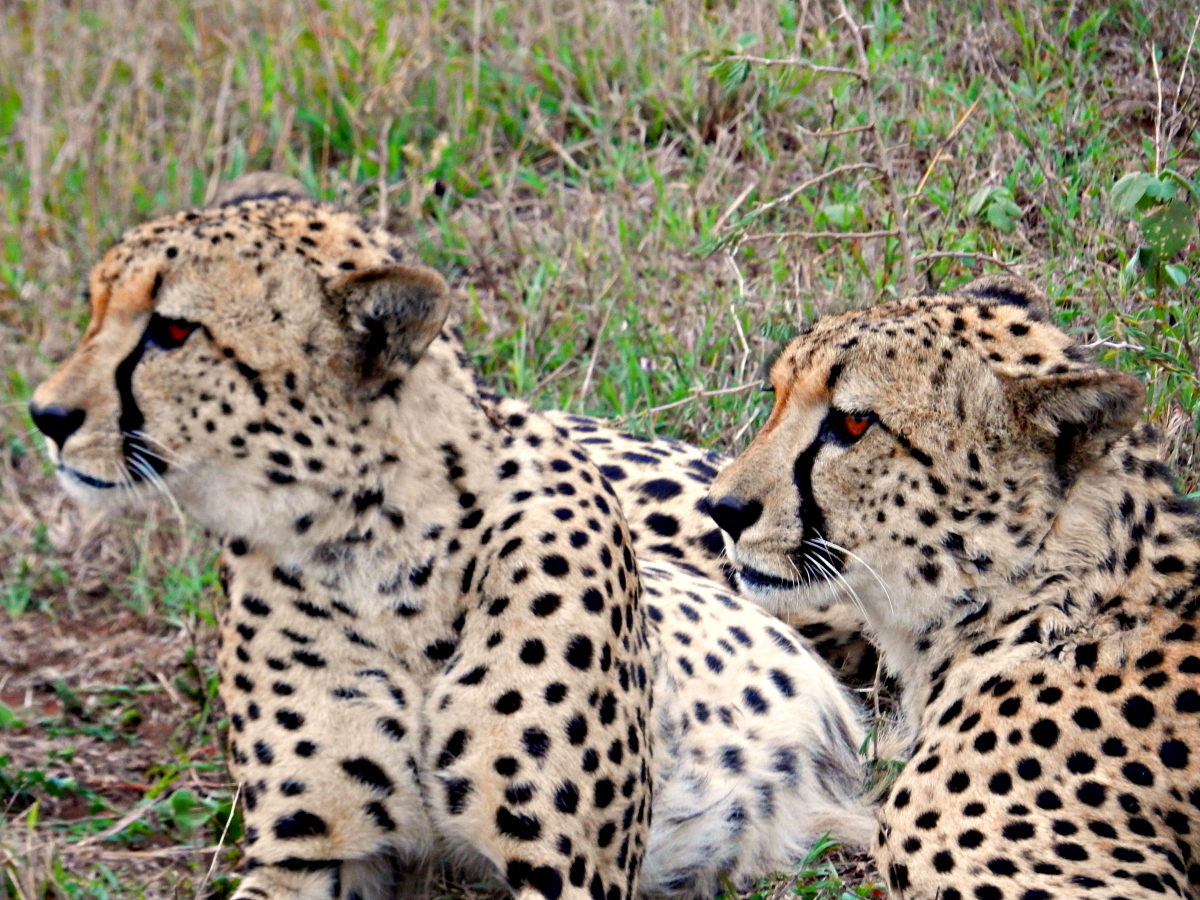 Phinda Game Reserve - Cheetah Brothers