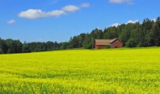 Field of Yellow Rapeseed in Finland