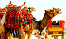 Camel at Giza Pyramids in Egypt
