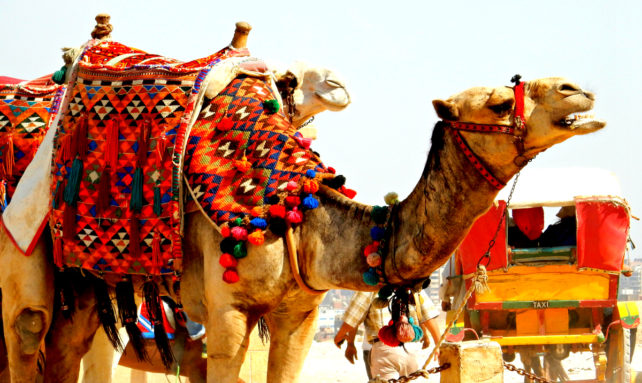 Camel at Giza Pyramids in Egypt