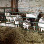 Peterborough, Ontario - Cross Wind Farm Goats