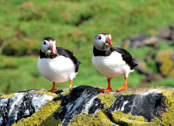 Puffins in the Outer Hebrides