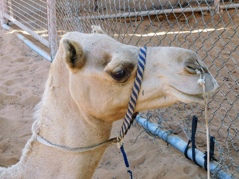 Camel in Abu Dhabi