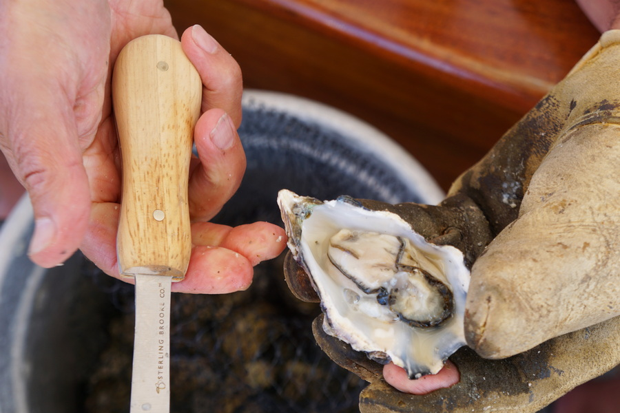 Shucked fresh oysters
