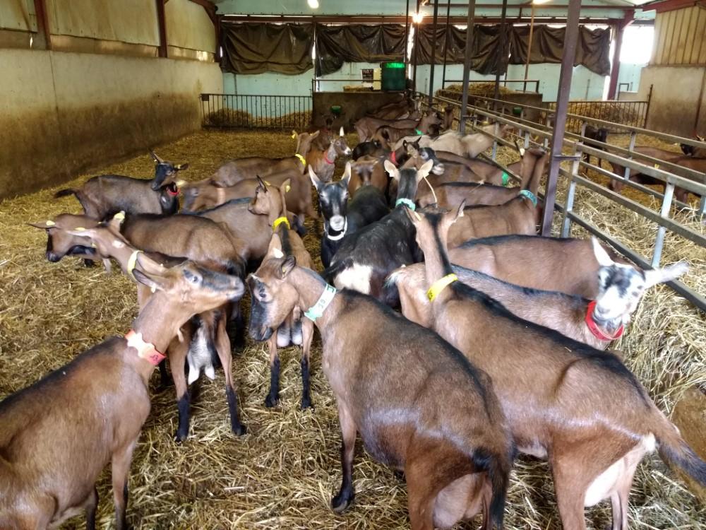 Goat Farm Excursion